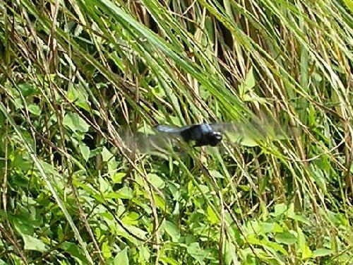 オオシオカラトンボ オオシオカラトンボ♂ ホバリングして♀の産卵を見守る