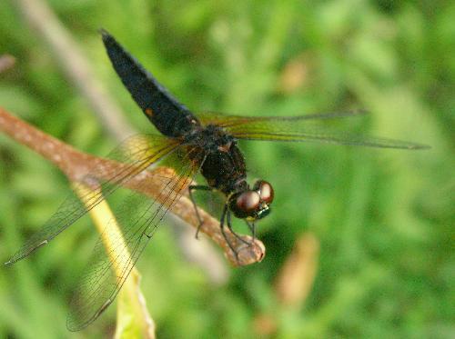 ハラビロトンボ ハラビロトンボ♂成熟途中 体は真っ黒と言っていい