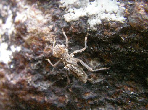 ヤクシマトゲオトンボ ヤゴは生息していた沢から岩などに這い上がり羽化する