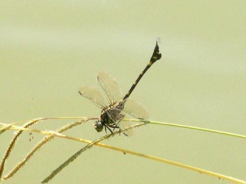 タイワンウチワヤンマ 厚いときは尾を高く上げる