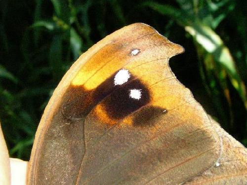 クロコノマチョウ クロコノマチョウ 前羽表側の模様