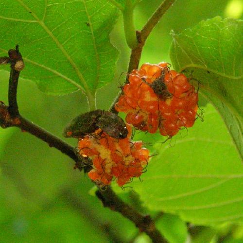 コメツキムシ科 サビキコリ