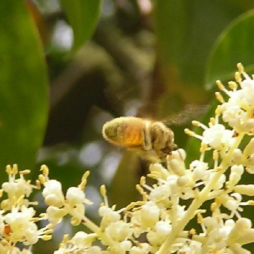 セイヨウミツバチ �