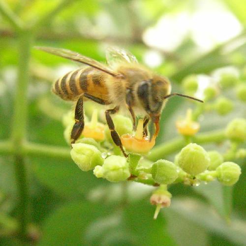 ニホンミツバチ ニホンミツバチ