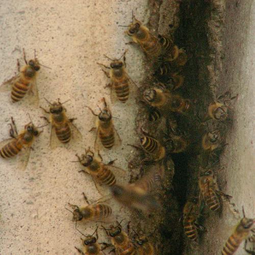 ニホンミツバチ 巣の出入り口に集まったニホンミツバチ