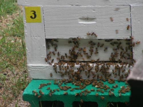 セイヨウミツバチ セイヨウミツバチ