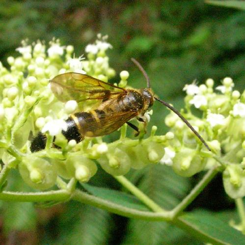 ツチバチ科 キンケハラナガツチバチ