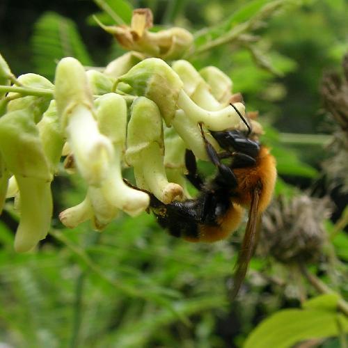 ミツバチ科 トラマルハナバチ