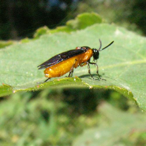 カブラハバチ