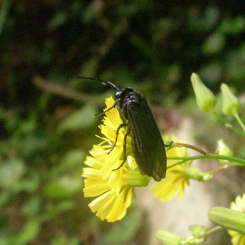 ヒゲナガクロハバチ