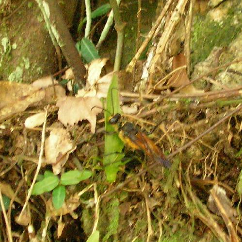 アナバチ科 キンモウアナバチ