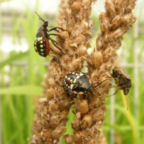 アオクサカメムシ 親とは全く違う色 黒地に白い丸が並ぶ 腹は赤い