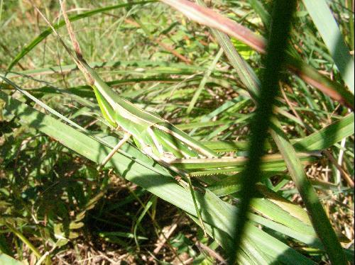ショウリョウバッタ ショウリョウバッタ♀ 緑色に褐色の筋