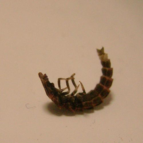 ヒメボタル ヒメボタル 幼虫