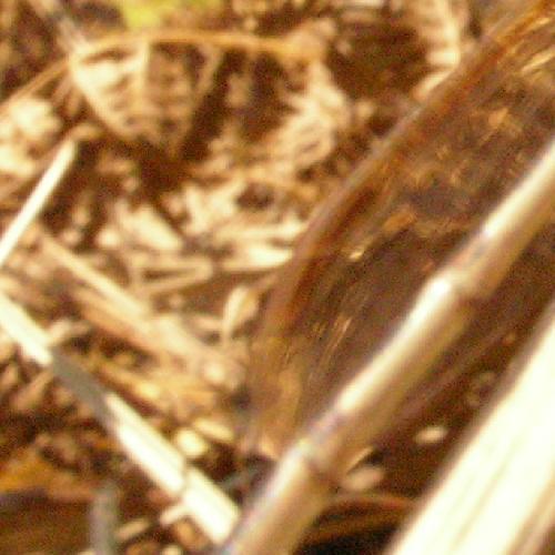 オツネントンボ オツネントンボ 前羽と後羽の茶色い点が重ならない