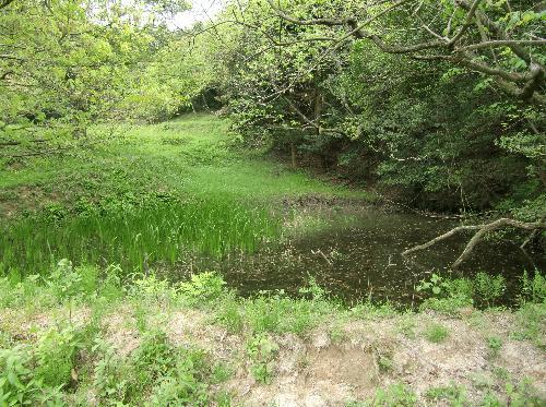 ホソミオツネントンボ 低山地の水草が多い池や沼
