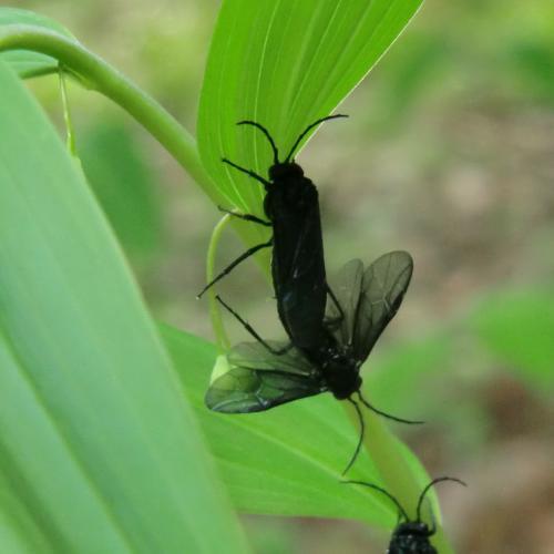 ヒゲナガクロハバチ ヒゲナガクロハバチの交尾 ♂は♀より小さい