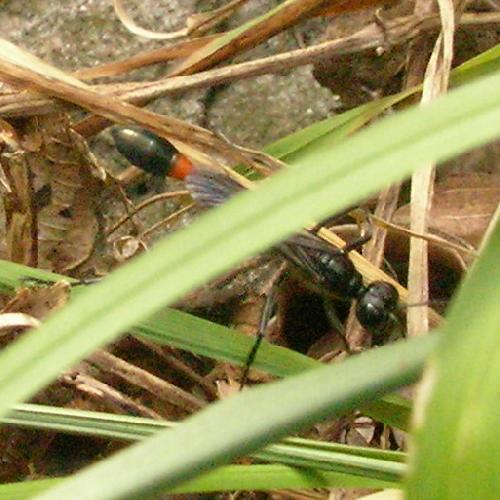 アナバチ科 ジガバチ
