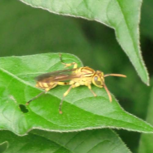 スズメバチ科 ムモンホソアシナガバチ