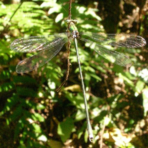 オオアオイトトンボ 金属光沢のある緑色の細い体 羽を広げたままとまる