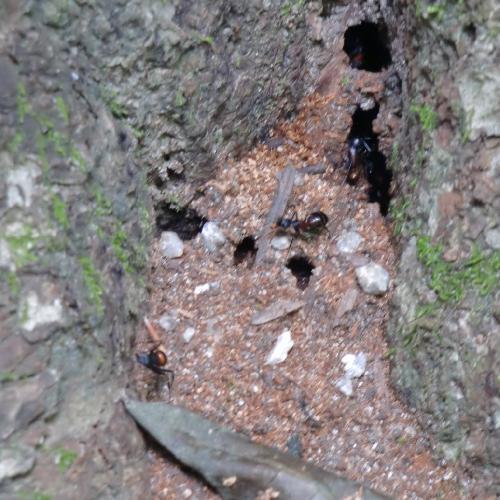 ニシムネアカオオアリ ニシムネアカオオアリ 木の根元に作られた巣
