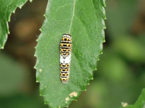 キアゲハ キアゲハ若齢幼虫