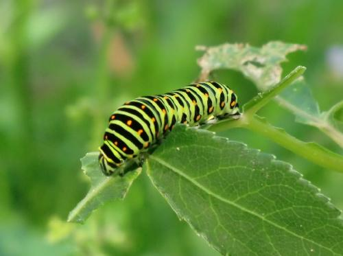キアゲハ キアゲハ幼虫