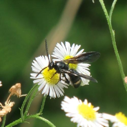 ツチバチ科 キオビツチバチ♂