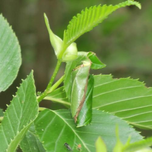 オトシブミ ヤシャブシなどの葉を巻いて卵を産みつける