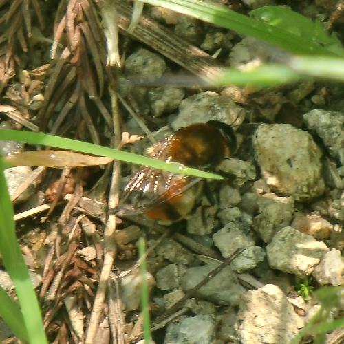 キンアリスアブ アリの巣を探すキンアリスアブ♀
