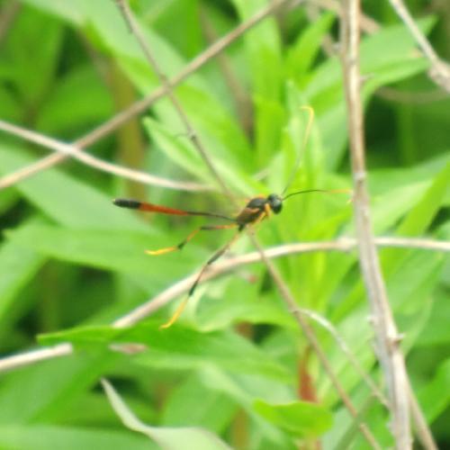 コンボウアメバチ