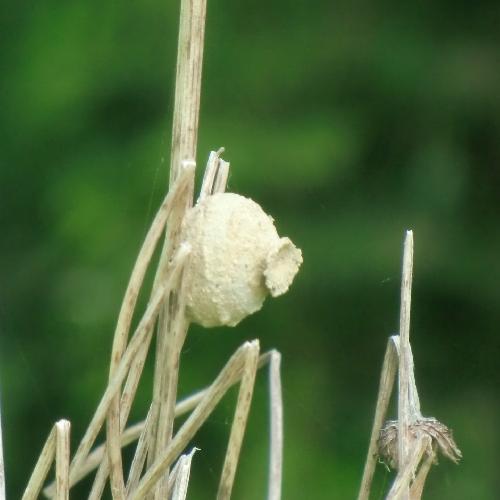 ミカドトックリバチ ミカドトックリバチの巣