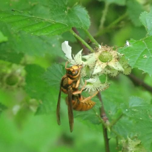 キイロスズメバチ キイロスズメバチ