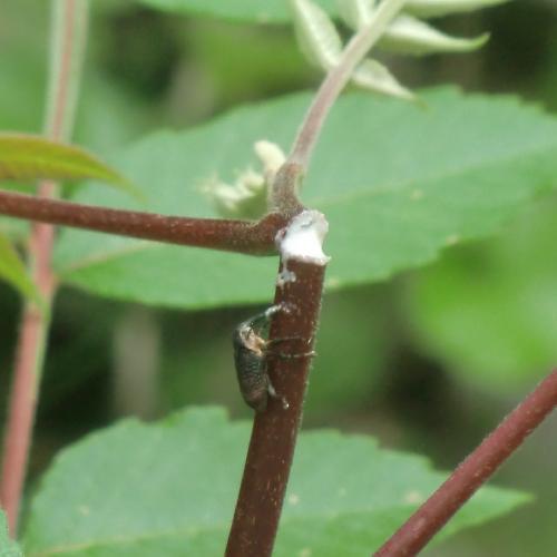 ゾウムシ科 ホホジロアシナガゾウムシ ヌルデの若枝に穴を開け切り倒す