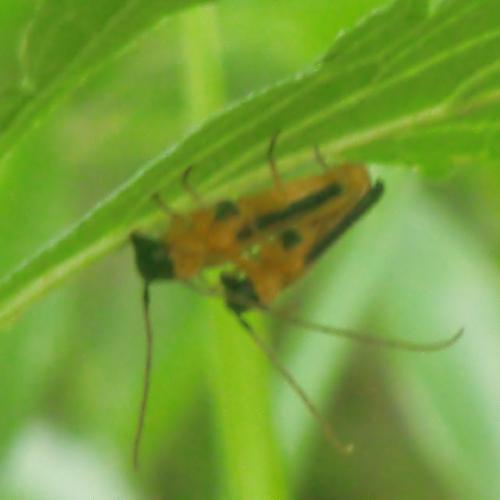 カミキリムシ科 ヘリグロリンゴカミキリ♂♀