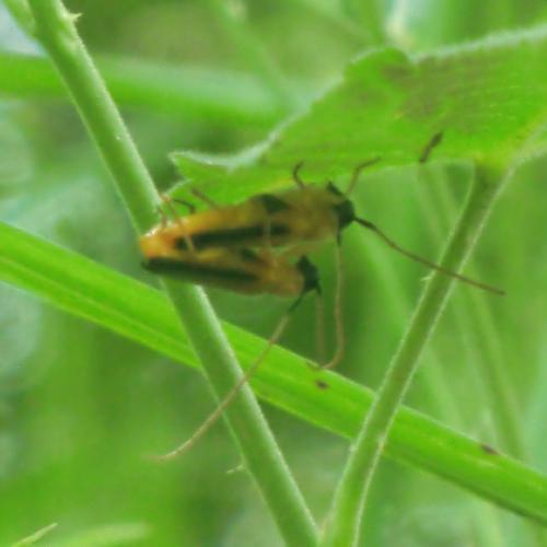 ヘリグロリンゴカミキリ ヘリグロリンゴカミキリ♂♀